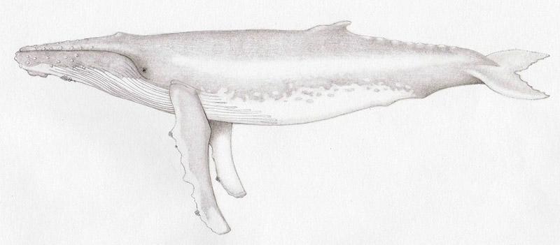 sharon-salmi-humpback-pic