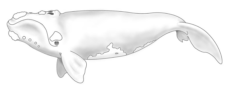 steffi-michalski-southern-right-calve