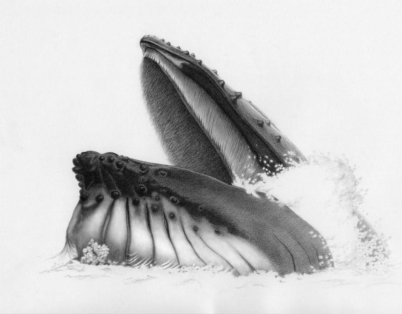 teresa-byrne-humpback-feeding