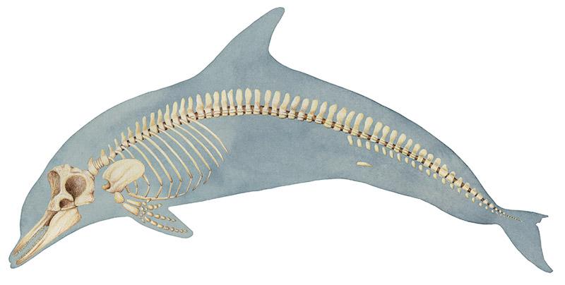 Web-Dolphin-Skeleton