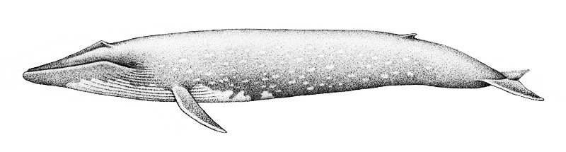 W-Pygmy Blue Whale BW
