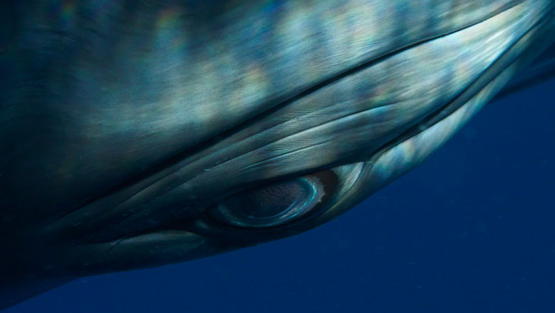 Minke Whale Eye by Bryant Austin