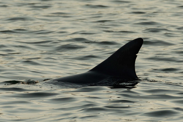Flying Solo - Sydney's Solitary Dolphin