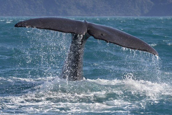Into the Deep - The Sperm Whales of Kaikoura