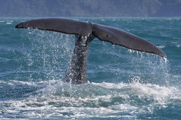 Into the Deep - The Sperm Whales of Kaikoura