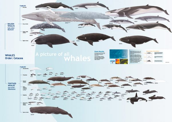 WT-Whales_FamilyTree_ALL